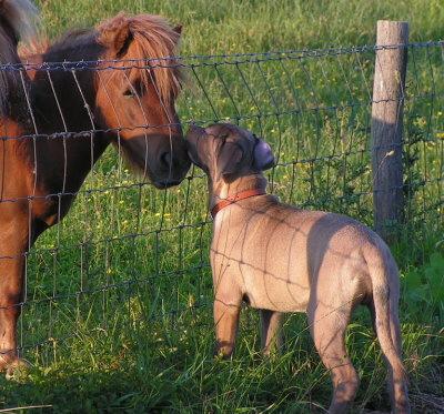 alano mit pferd