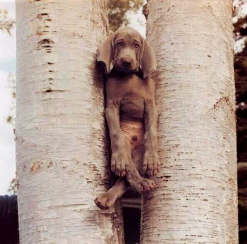 baumhund