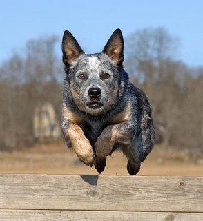 cattel dog