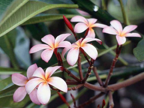 frangipaniblüte