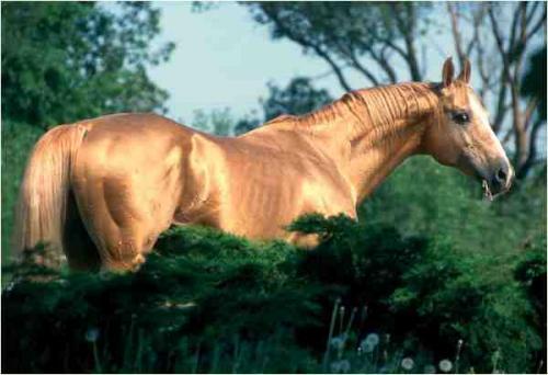 goldes pferd