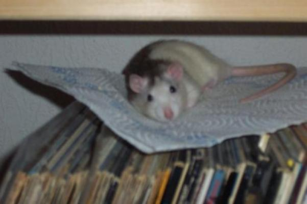 Müde Ratte