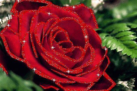 rose mit schönen abend