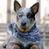 australian cattel dog