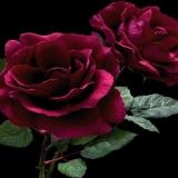 Bunte Rose