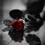 dunkele rose