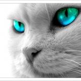 Katze blaue Augen