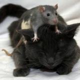 Katze-Maus