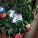 Ratte in Rosen