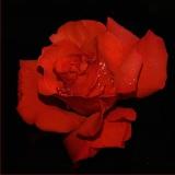 rose mit wechselnden farben