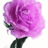 rose wechselnde farben