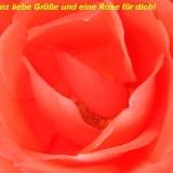 Rosenblüte 1a