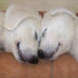 Schlafende Maremmniwelpen
