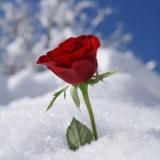 Schnee Rose