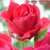 Späte Sommerrose